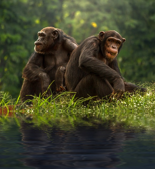 Imágenes de chimpancés » CHIMPANCEPEDIA