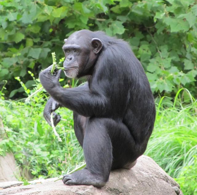 Hábitat del Chimpancé » CHIMPANCEPEDIA