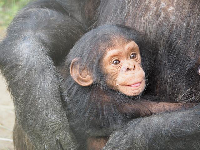 La Reproducción Del Chimpancé Chimpancepedia