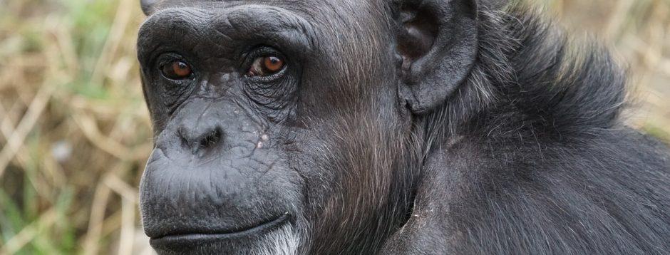 Anatomía de los chimpancés » CHIMPANCEPEDIA